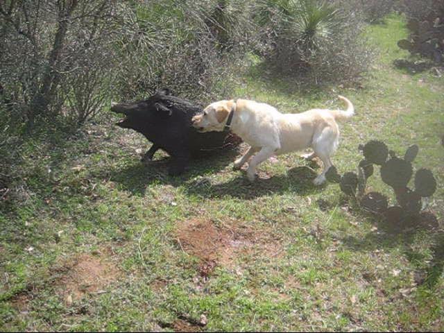 Real Wild Hog Dog Thermal Or Stalking Hog Hunts Texas