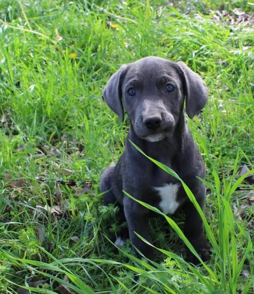 sale blue lacy puppies dogs and puppies for sale