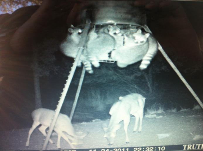 Raccoons Deer Hunting Texas Hunting Forum