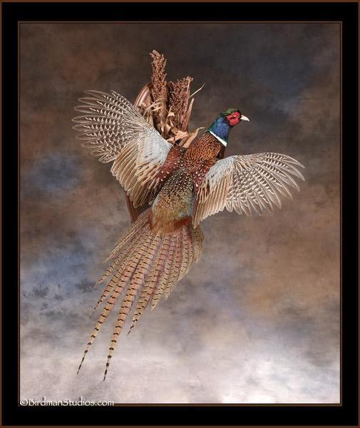 Pheasant mount on its way! | Upland Bird Hunting | Texas ...